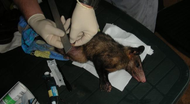 Biométrie sur un Pian à oreilles noires - Didelphis marsupialis © RNR Trésor