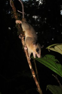 Opossum laineux nain - Micoureus demerarae © RNR Trésor