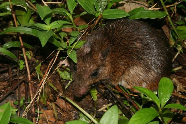 Rat forestier épineux - Proechimys cuvieri © RNR Trésor