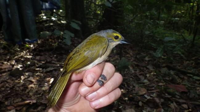 Tangara à crête fauve femelle -Tachyphonus surinamus © RNR Trésor