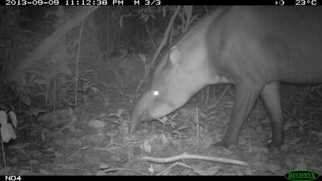 Tapir pris au piège photo - Tapirus terrestris © RNR Trésor