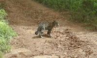 Jeune Jaguar croisant une piste