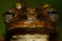 Les beaux yeux de la rainette oophage  © Vincent Premel