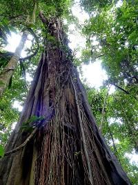 Ficus nymphaeifolia sur les sentiers de la réserve © RNR Trésor