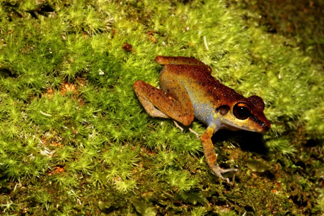 Pristimantis zeuctoctylus  © RNR Trésor