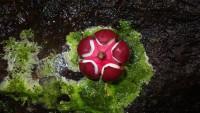 Fruit de Tetragastis © RNR Trésor