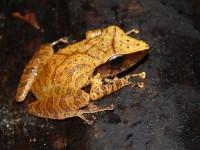 Pristimantis chiastonotus © RNR Trésor
