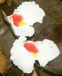 Fleurs de Gonfolo rose © RNR Trésor