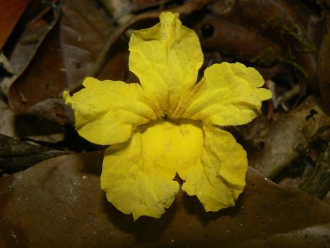 Fleur d' Ébène verte (Tabebuia serratifolia) © Benoit Villette