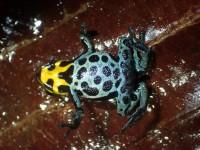Its ventral colour pattern is spectacular © Benoit Villette