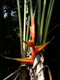 Heliconia bihai © RNR Trésor