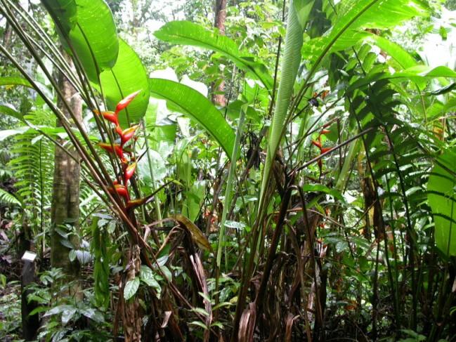 H. bihai sur le sentier botanique © RNR Trésor
