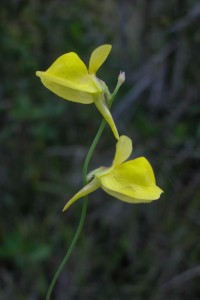 Utricularia juncea is one of the bigger species in French Guiana, reaching sometimes up to 50 cm © Renske Ek