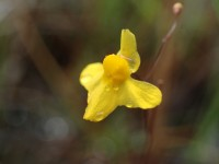 Yellow remains the dominant colour in the fowers of Utricularia © Benoit Villette