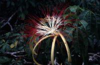 Fleurs de Pachira aquatica © photonatura