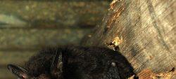 Été des spécialistes : les chauves-souris