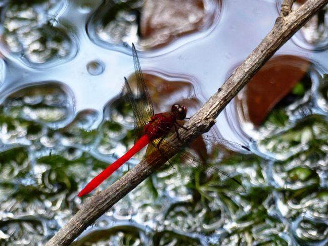 Rhodopygia cardinalis © JF.Szpigel